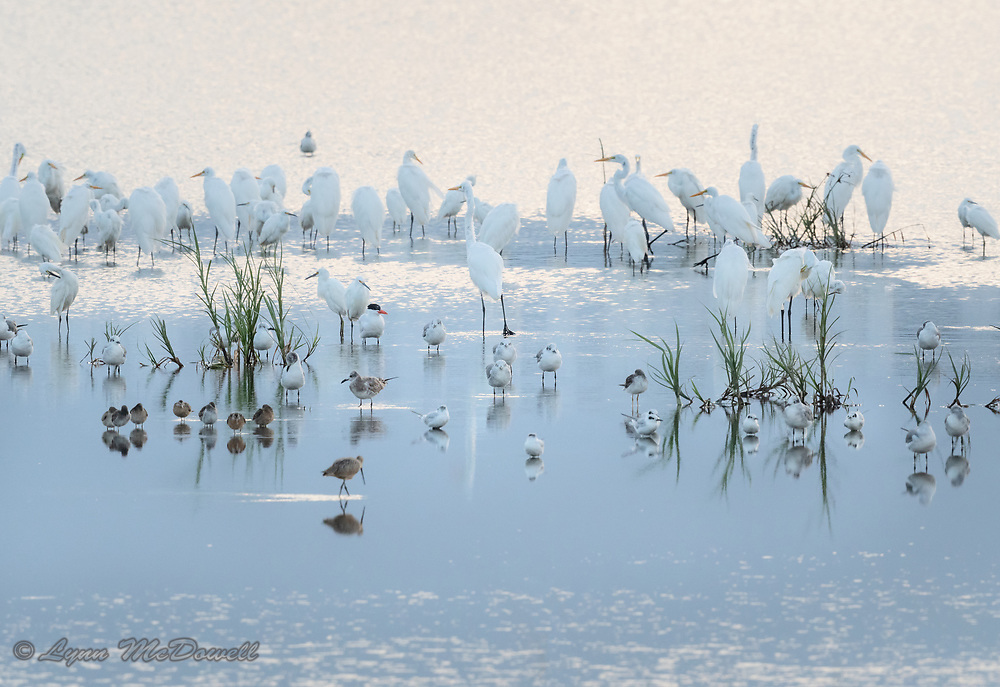 As the sun sets at Bombay Hook, this mixed flock of birds settle in for the night over the reflecting water