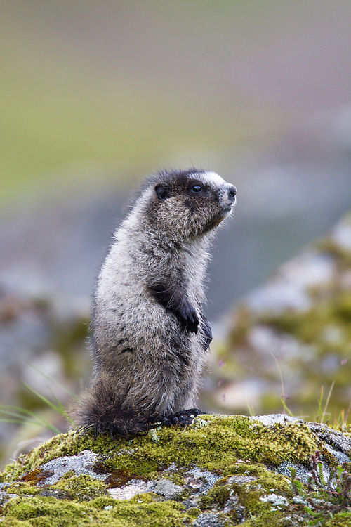 Alaska.  Young adult Hoary Marmot (Marmota caligata) sitting up on its haunches on a mossy outcrop near Hatcher Pass in July.