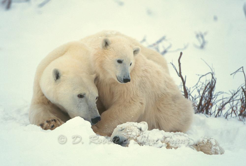 Polar bear it arctic