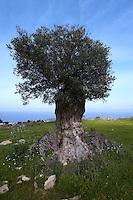 An old Olive Tree (Olea europaea) Akamas Peninsula, Cyprus