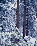 Fresh snow on manzanita, white fir, incense cedar and ponderosa pine along the Generals Highway below Giant Forest, Sequoia National Park, California.