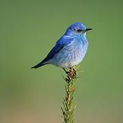 Mountain Bluebird male near a nest. Montana