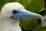 Portrait of the white morth of Red-footed Booby (Sula sula) from Genovesa, Galapagos.