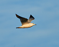 Ring-billed Gull (Larus delawarensis). Fort De Soto County Park. St. Petersburg, Florida. Image taken with a Nikon D3x camera and 500 mm f/4 VR lens.