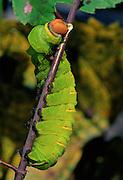 Polyphemus Moth catterpillar (Antheraea polyphemus) eating branch.