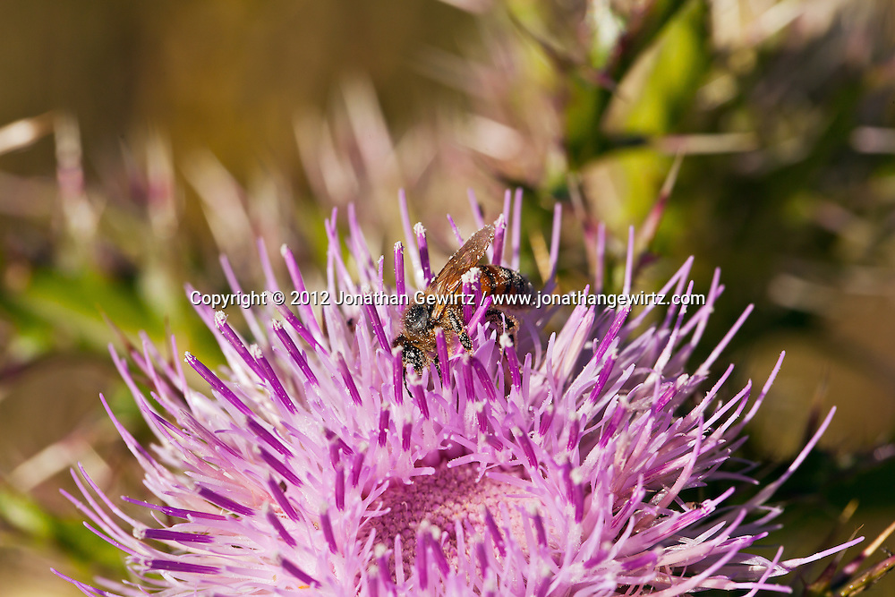 A Honey Bee forages on a pink thistle flower in the Florida Everglades. WATERMARKS WILL NOT APPEAR ON PRINTS OR LICENSED IMAGES.