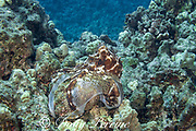 day octopus, reef octopus, or big blue octopus, Octopus cyanea, in mottled brown and white color pattern, while hunting on coral reef; probing crevices with arms for hidden prey, with webbing expanded between some arms to trap prey; Kohanaiki, North Kona, Hawaii Island ( the Big Island ), Hawaiian Islands, U.S.A. ( Central Pacific Ocean )