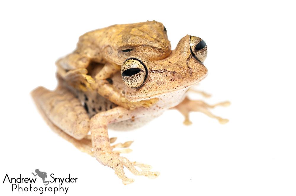 Gunther's banded tree frog, Hypsiboas fasciatus, Kanuku Mountains, Guyana, July 2013