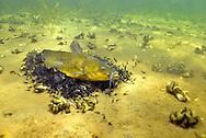 Black Bullhead (guarding fry)<br /> <br /> Engbretson Underwater Photography