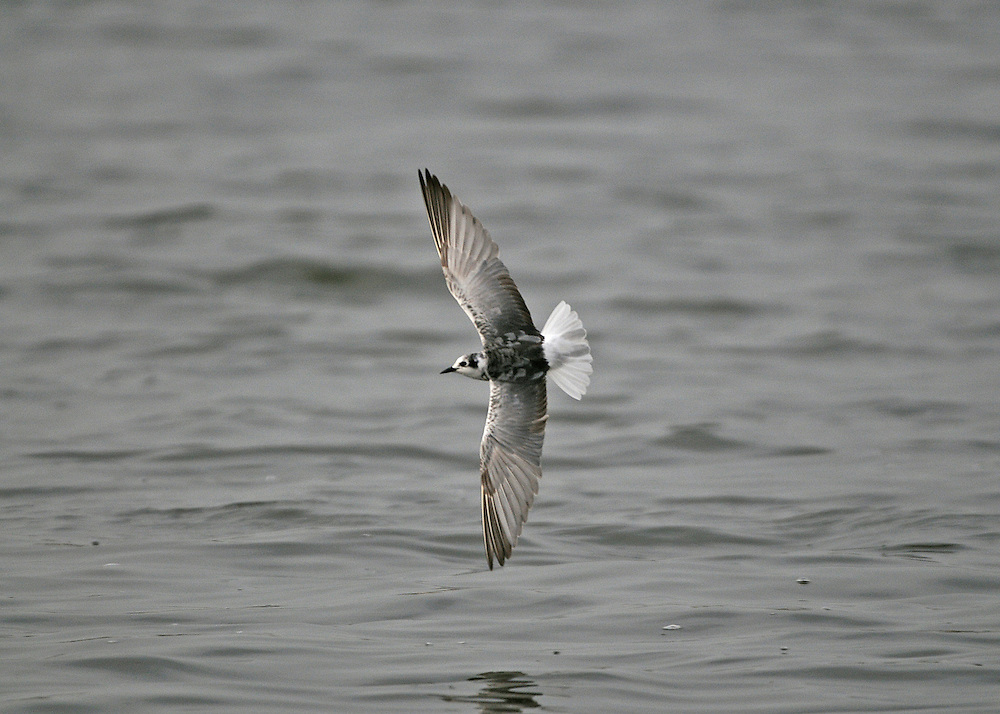 White-winged Black Tern - Chlidonias leucopterus - moulting adult autumn