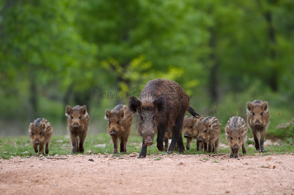 Spanish Wild Boars (Sus scrofa baeticus) or Wild Hogs. This is a small sub-species found in Iberia.<br /> Cazorla Natural Park, Jaén Province, Andalusia. SPAIN<br /> RANGE: Iberian Peninsula<br /> They live in groups of up to 50 which consist of several sows & their offspring.  individuals. Males join only in the breeding season. Usually noctural or cropuscular. They eat almost anything from grass, nuts, berries, carrion, roots, refuse, insects, small reptiles to young deer or lambs.