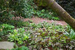 Epimedium versicolor Neo - sulphureum and Erythronium revolutum 'Knightshayes Pink' in the woodland garden at Glebe Cottage