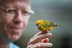 Man holding small songbird that had just run into window, Las Cruces Biological Station/Wilson Botanical Garden, Puntarenas, Costa Rica