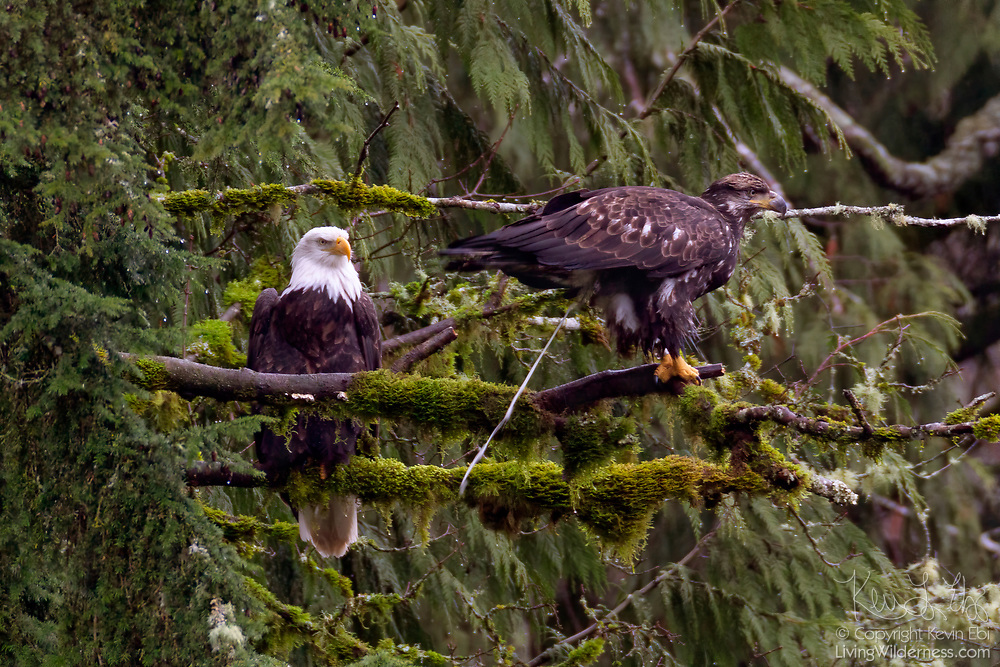 A juvenile bald eagle (Haliaeetus leucocephalus) poops within view of an adult bald eagle as they're both perched in a forested area of the North Cascades of Washington state.