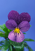 Close up portrait of a violet (Viola variety) with early morning dew growing in a Norfolk garden