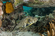 Map Puffer (Arothron mappa)<br /> Raja Ampat<br /> West Papua<br /> Indonesia
