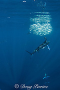 striped marlin, Tetrapturus audax, feeding on baitball of sardines, Sardinops sagax, off Baja California, Mexico ( Eastern Pacific Ocean ); the sardines have just turned to flash a dazzling reflection of sunlight off their sides, to confuse the predators