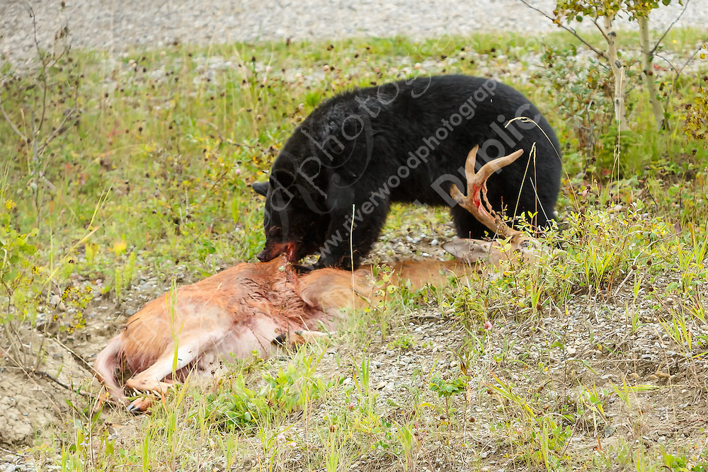 While returning to Calgary from a hike in Kananaskis we drove past this black bear feasting on a White-tailed Deer at the side of the road. There was no way to know if the bear had killed the deer or if it was just taking advantage of an opportunity...<br /> <br /> ©2014, Sean Phillips<br /> http://www.RiverwoodPhotography.com