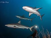 Gray reef shark (Carcharhinus amblyrhynchos), Cuba.