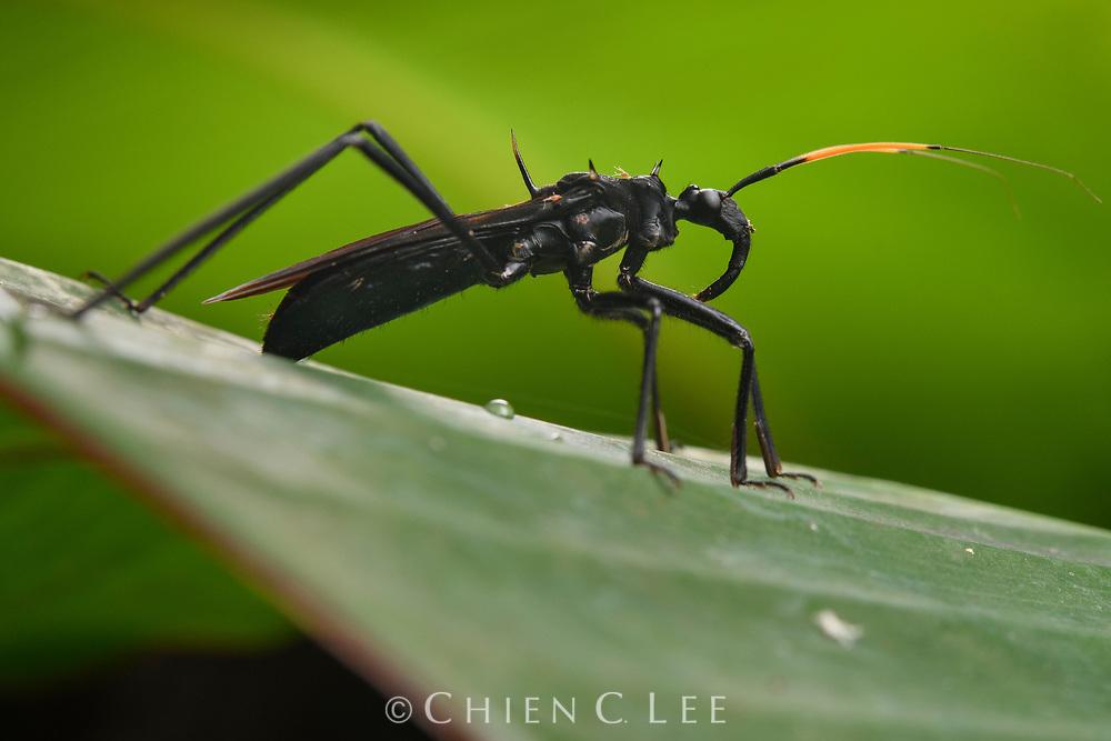 Assassin bug (Zelurus sp.) which mimics a spider wasp. Yasuní National Park, Ecuador.