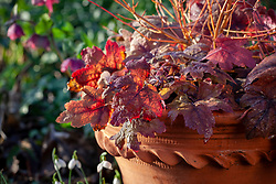 × Heucherella 'Sweet Tea' growing in a pot with Cornus sanguinea 'Midwinter Fire'