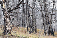Burnt forest near Yellowstone National Park.