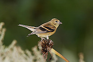 A Small Bird, The American Goldfinch In Autumn Plumage And Dining On Cone Flower Seeds, Carduelis tristis