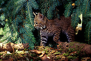 A six-week old bobcat kitten (Felis rufus). Temporarily captive in a rehab facility, near Eugene Oregon.