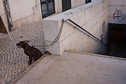 A pet dog awaits its owner while tied to the rail of steps of steps at Alameda metro station, Lisbon, Portugal.