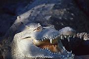 American crocodile, Crocodylus acutus, Threatened Species, Florida, USA