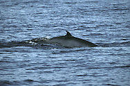 Minke Whale Balaenoptera acutorostrata Length 8-10m (Pronounced Minky). Smallest baleen whale but still large and impressive. Tail is not revealed when animal dives. Feeds on shoaling fish. Adult is streamlined with narrow, pointed snout. Upperparts are dark grey; underparts are whitish and broad bands of paler colouration extend up flanks and sometimes visible on animals at surface. Curved dorsal fin is set far back on body. Single ridge runs from nostrils to tip of rostrum. Has diagnostic, broad white spot or band on upper surface of flipper; easily seen in swimming animals.