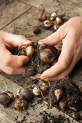 Propagating snowdrops by division. Dividing the bulbs. Galanthus