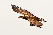 An immature Bald Eagle (Haliaeetus leucocephalus) flies at Big Beef Creek near the Hood Canal of Puget Sound, Washington, USA