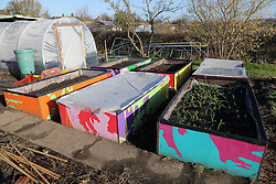 Painted raised beds with polytunnel on allotment, Nottingham.