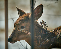 Young, sickly looking deer on my patio. Image taken with a Nikon D5 camera and 600 mm f/4 VR lens (ISO 220, 600 mm, f/4, 1/1250 sec).
