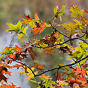 Sometimes the simplest things bring the greatest beauty.  A small oak branch showing leaves in many colors.  The D&R Canal is in the background