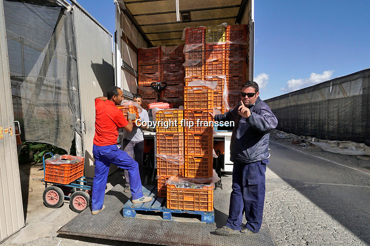 Spanje, El Ejido, 8-11-2019 In dit deel van Andalucie worden veel groenten en fruit verbouwd die hun weg vinden via de export naar o.a. Nederland . Een vrachtwagen wordt beladen, geladen, met aubergine . De chauffeur gebied de fotograaf niet te fotograferen . opgeheven vinger . Het wordt de zee van plastic genoemd omdat de kassen opgebouwd zijn van houten of metalen palen bedekt met zwaar plastic. Komende zondag zijn er algemene verkiezingen in Spanje en de populistische partij Vox heeft hier een grote aanhang. In de kassen werken voornamelijk migranten uit Afrika, en arbeidsmigranten uit Oost-Europa die een laag loon uitbetaald krijgen, afhankelijk van de werkgever. Er wordt door de tuinders en transportbedrijven goed verdiend maar de boeren vinden dat ze teveel negatieve aandacht krijgen in de media van noord-europa. De migranten zijn zich ervan bewust dat ze van veel de schuld krijgen terwijl ze toch het werk doen wat de Spanjaarden niet willen...Foto: Flip Franssen
