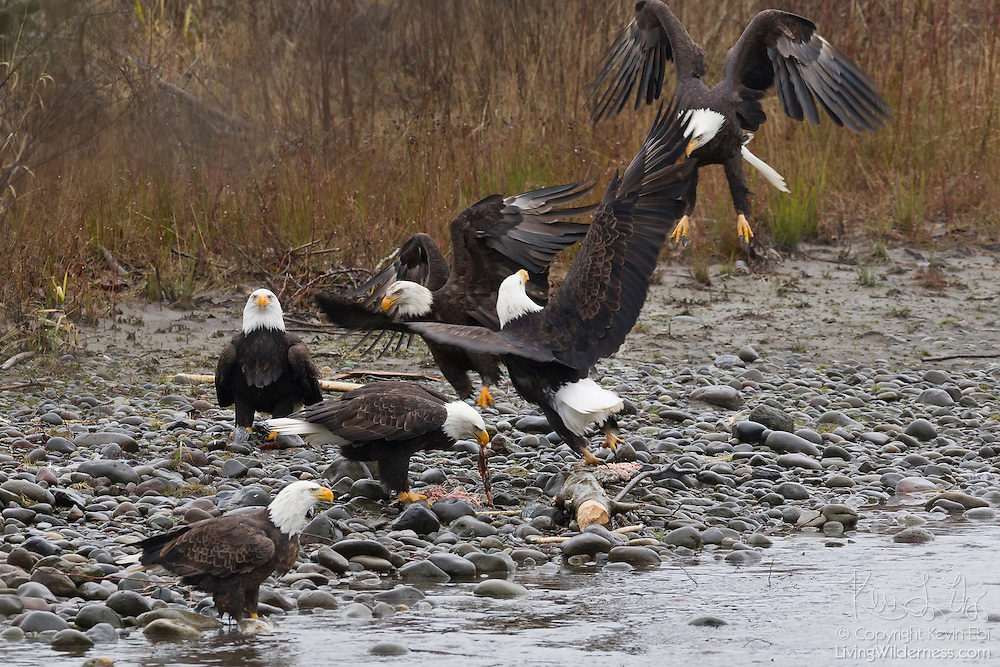 Six bald eagles (Haliaeetus leucocephalus) feed or fight for fish along the Nooksack River in Whatcom County, Washington. Several hundred bald eagles winter along the Nooksack and Skagit rivers in the North Cascades of Washington to feast on spawned out salmon.