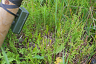 Trap camera pointing at Fen Orchids - Liparis loeselii ovata, Sutton Fen RSPB Reserve, Norfolk UK