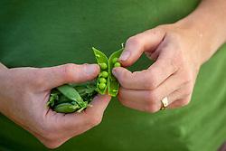 Handful of harvested peas - Pisum sativum