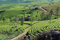 Inde, Etat du Kerala, Munnar, plantation de the // India, Kerala state, Munnar, tea plantations