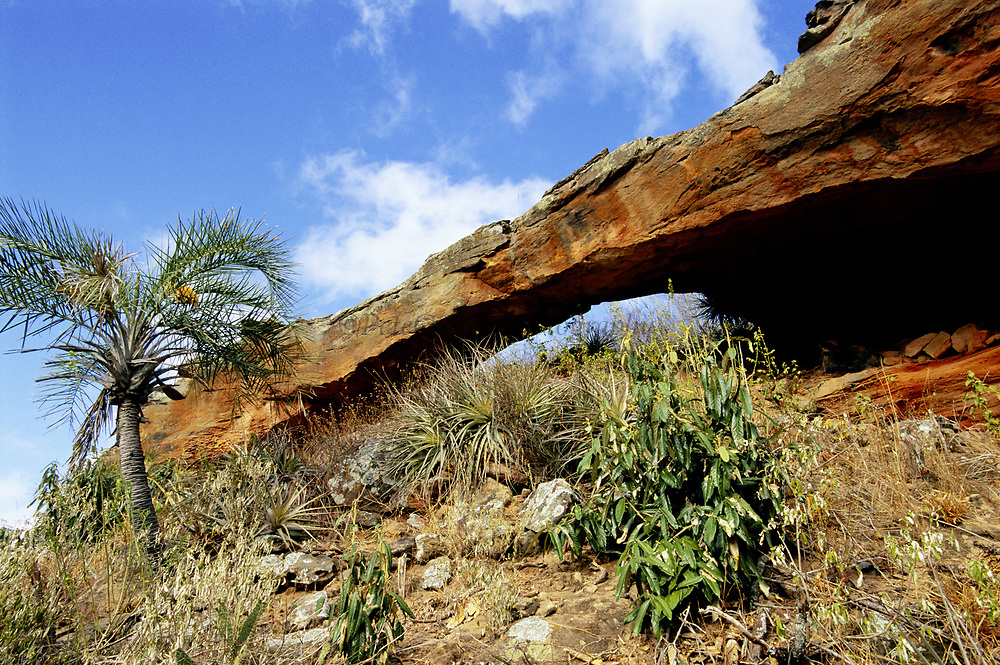 Licuri Palm in Caatinga Habitat<br />Syagrus coronata<br />Caatinga Habitat.  Bahia State, BRAZIL.  South America<br />Lear's Macaw Depend on this palm for food
