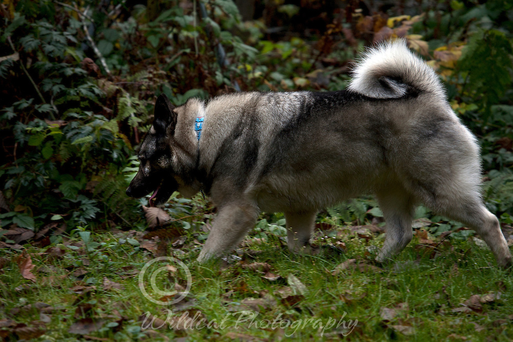 Elkhound on the trail