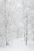 Lines of snow covered birch trees (Betula sp.) in young forest stand, Vidzeme, Latvia Ⓒ Davis Ulands | davisulands.com