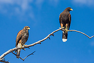 Two Harris Hawks (Parabuteo unicinctus), one immature  and one adult, perched on a tree branch with blue sky in the Sonoran Desert of Tucson (Arizona)