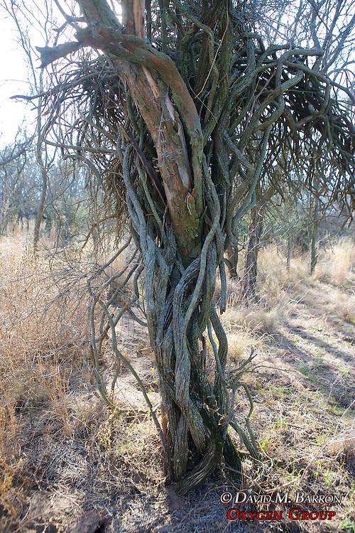 Vine Wrapped Around Tree