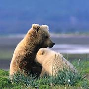 Alaskan Brown Bear, (Ursus middendorffi) Mother nursing cub. Katmai National Park. Alaska.