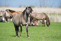 Konik horse braying, Oostvaarderplassen, Netherlands. Mission: Oostervaardersplassen, Netherlands, June 2009.