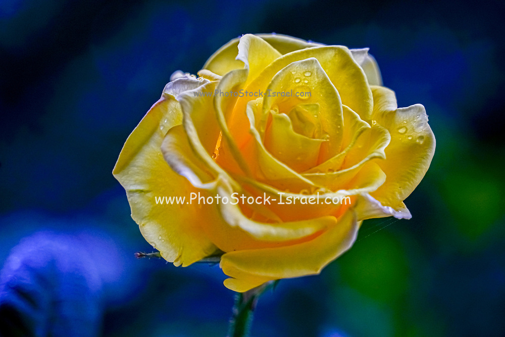 Close up of a perfect Yellow Rose