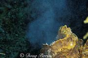 barrel sponge spawning ( releasing eggs ),<br /> off Freeport, Bahamas ( Western Atlantic Ocean )